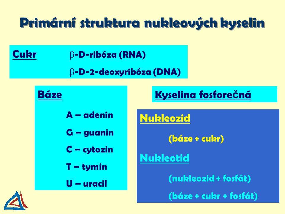 Nukleozid (báze + cukr) Nukleotid (nukleozid + fosfát) (báze + cukr + fosfát) Primární struktura nukleových kyselin Báze A – adenin G – guanin C – cyt