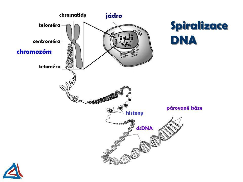 jádro párované báze dsDNA chromozóm chromatidy teloméra histony centroméra Spiralizace DNA