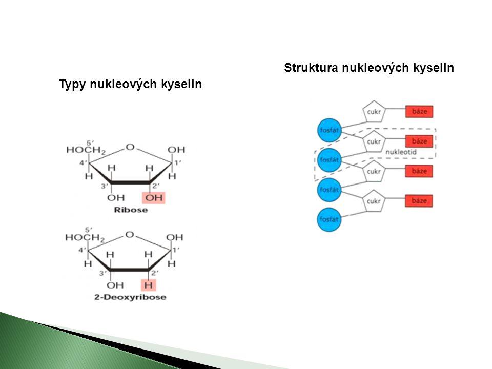 Typy nukleových kyselin Struktura nukleových kyselin