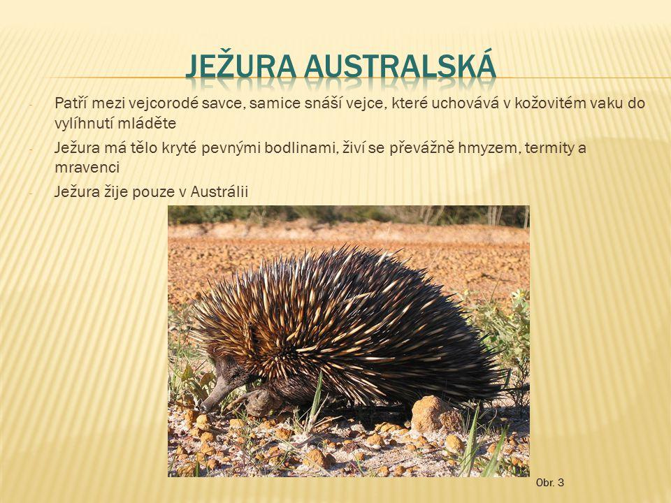 """- Patří mezi vačnatce, samice rodí nevyvinuté mládě – to se musí dostat srstí do matčina vaku, kde se nasaje na mléčnou bradavku a vyvíjí se - Zadní končetiny klokana jsou přizpůsobeny ke skákání, dlouhý a mohutný ocas slouží při skocích k vyvažování těla, při chůzi jako oporná 5.končetina - Klokany najdeme pouze v Austrálii - Mladí klokani se v Austrálii nazývají """"Joey Obr."""