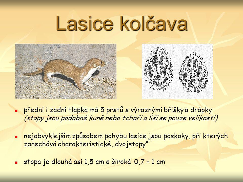 Ježek východní přední a zadní tlapky mají 5 dlouhých prstů se silnými drápy a výraznými mozoly ježek klade při chůzi zadní tlapky do otisků předních tlapek délka přední tlapky je asi 2,5 cm a šířka 2,5 – 3 cm, zadní tlapky jsou dlouhé 3 cm a široké 2 cm (měří se bez drápů)