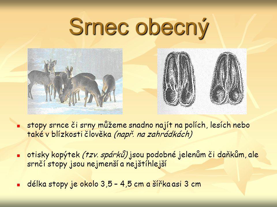 Srnec obecný stopy srnce či srny můžeme snadno najít na polích, lesích nebo také v blízkosti člověka (např.