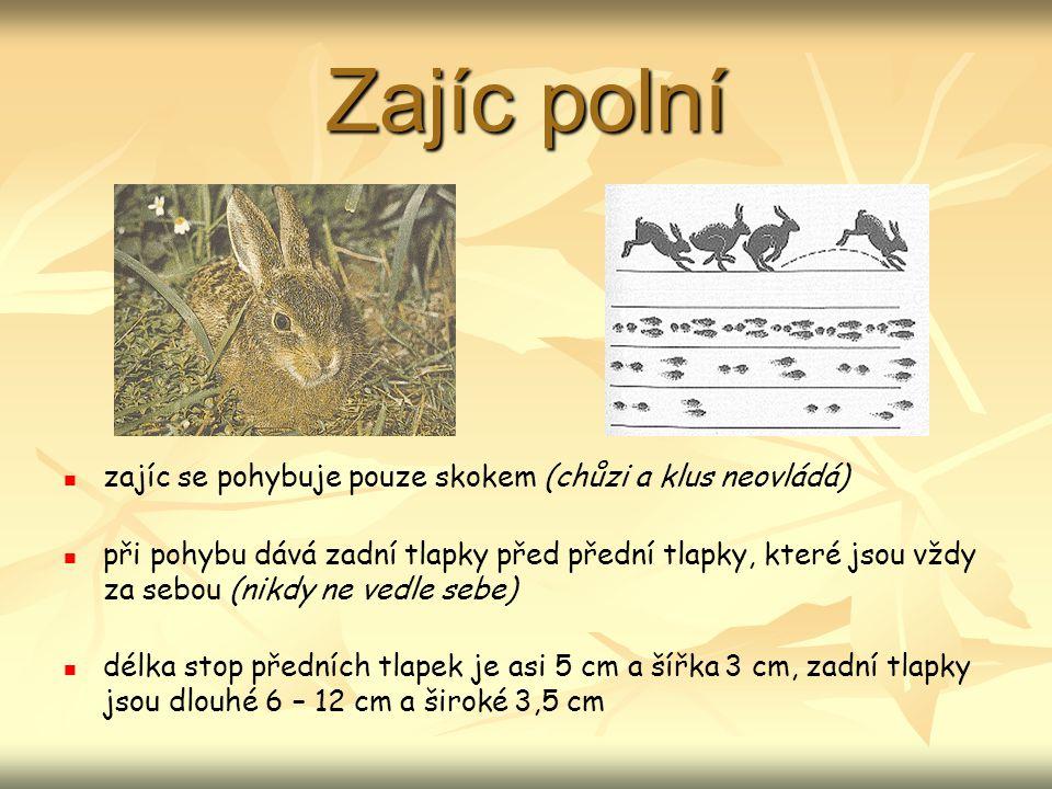 Zajíc polní zajíc se pohybuje pouze skokem (chůzi a klus neovládá) při pohybu dává zadní tlapky před přední tlapky, které jsou vždy za sebou (nikdy ne vedle sebe) délka stop předních tlapek je asi 5 cm a šířka 3 cm, zadní tlapky jsou dlouhé 6 – 12 cm a široké 3,5 cm