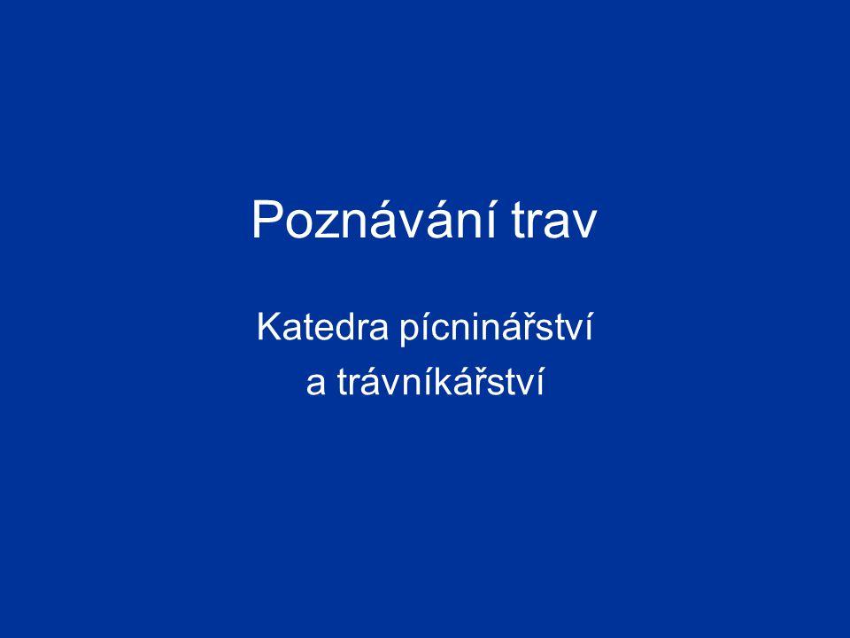 Kostřava luční – Festuca pratensis