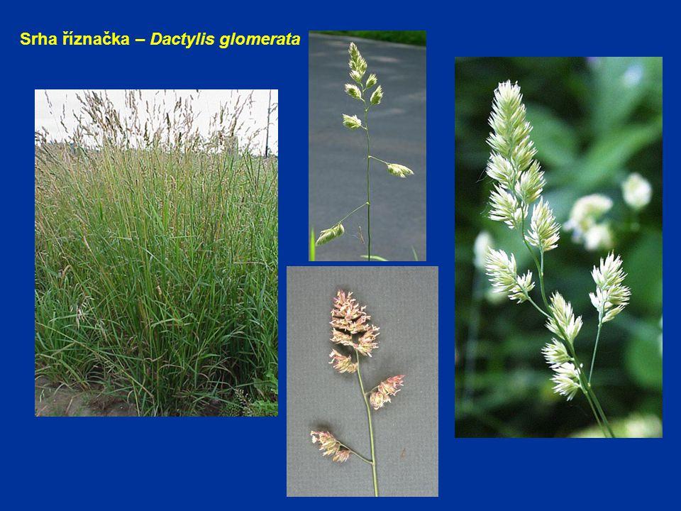 Srha říznačka – Dactylis glomerata