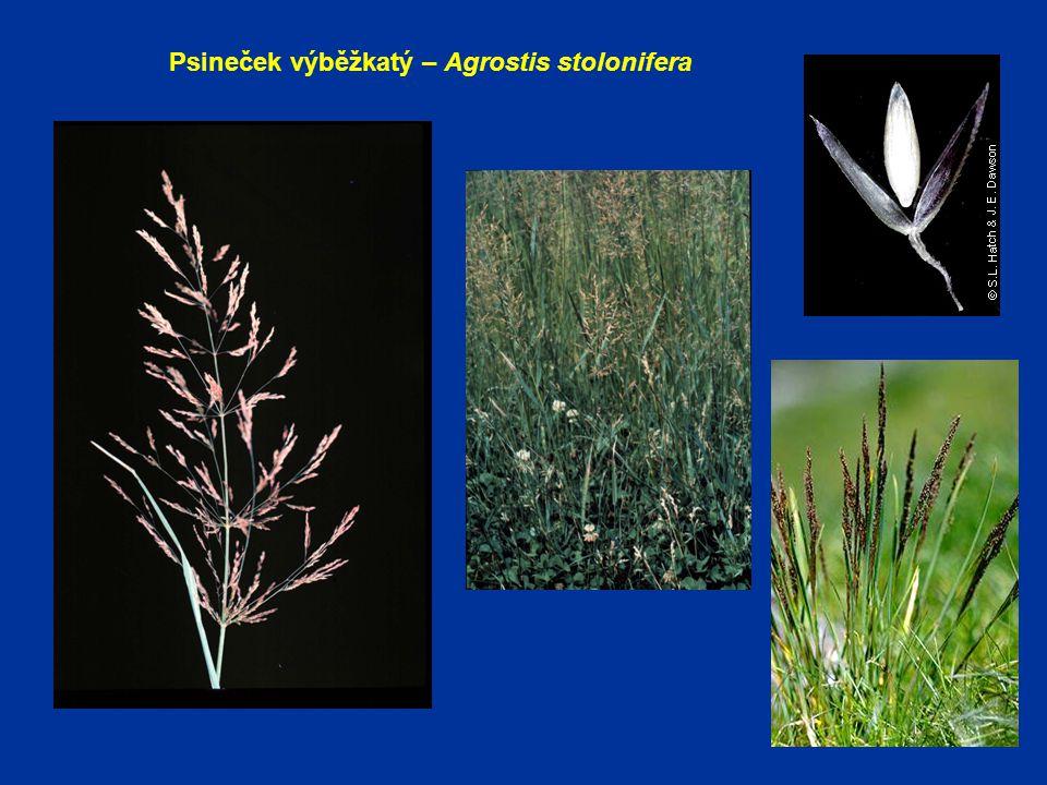 Psineček výběžkatý – Agrostis stolonifera