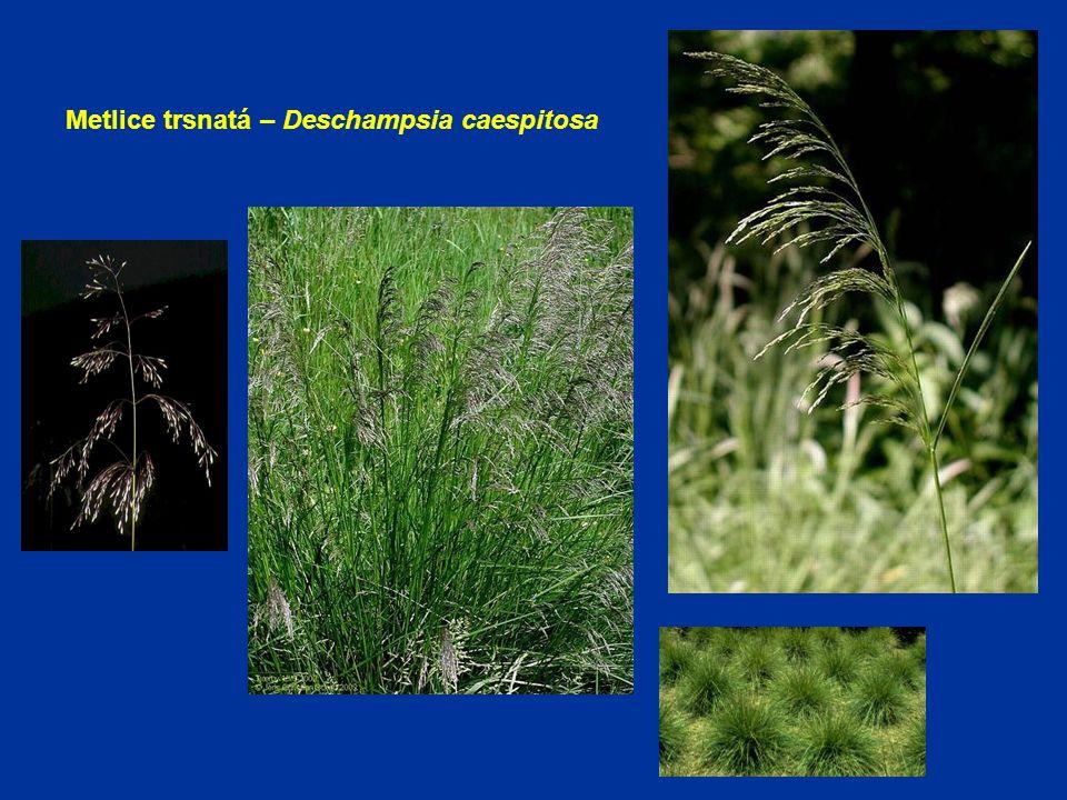Metlice trsnatá – Deschampsia caespitosa