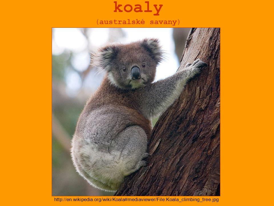 koaly (australské savany) http://en.wikipedia.org/wiki/Koala#mediaviewer/File:Koala_climbing_tree.jpg