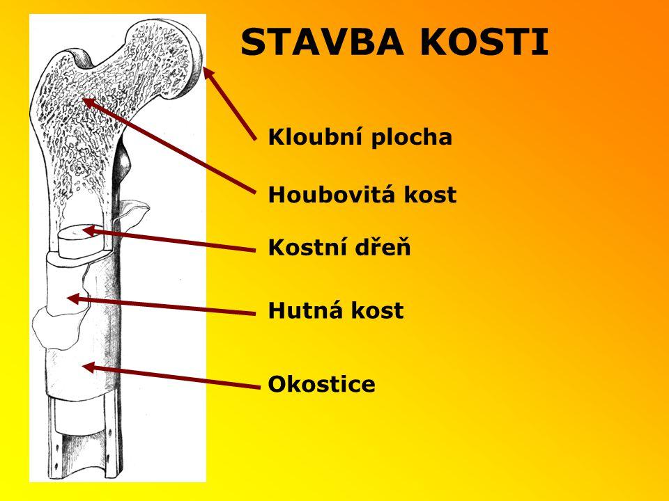 STAVBA KOSTI Kostní dřeň Kloubní plocha Hutná kost Okostice Houbovitá kost