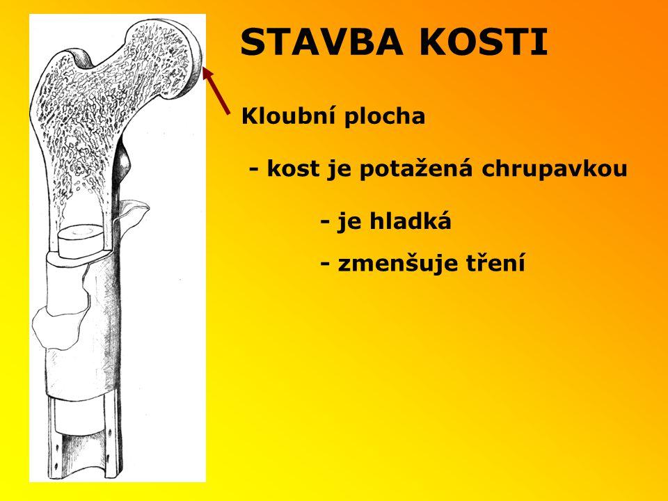 STAVBA KOSTI - je hladká Kloubní plocha - zmenšuje tření - kost je potažená chrupavkou