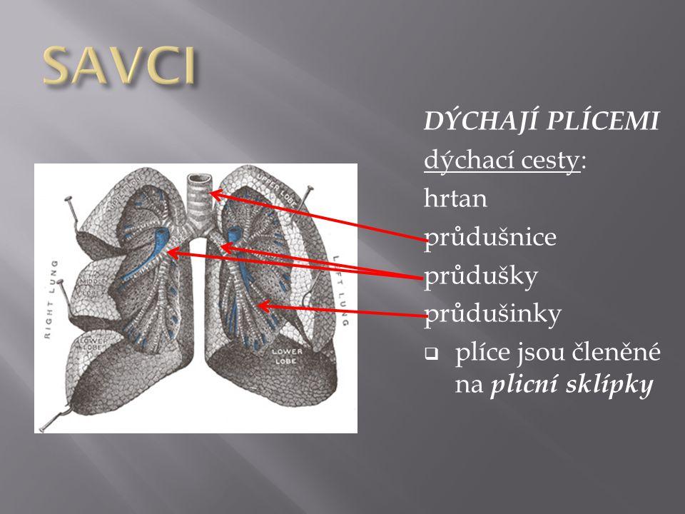 DÝCHAJÍ PLÍCEMI dýchací cesty: hrtan průdušnice průdušky průdušinky  plíce jsou členěné na plicní sklípky