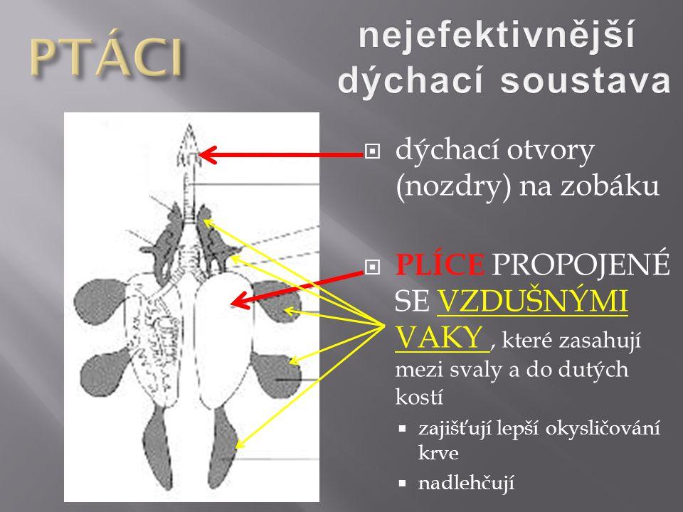  dýchací otvory (nozdry) na zobáku  PLÍCE PROPOJENÉ SE VZDUŠNÝMI VAKY, které zasahují mezi svaly a do dutých kostí  zajišťují lepší okysličování kr