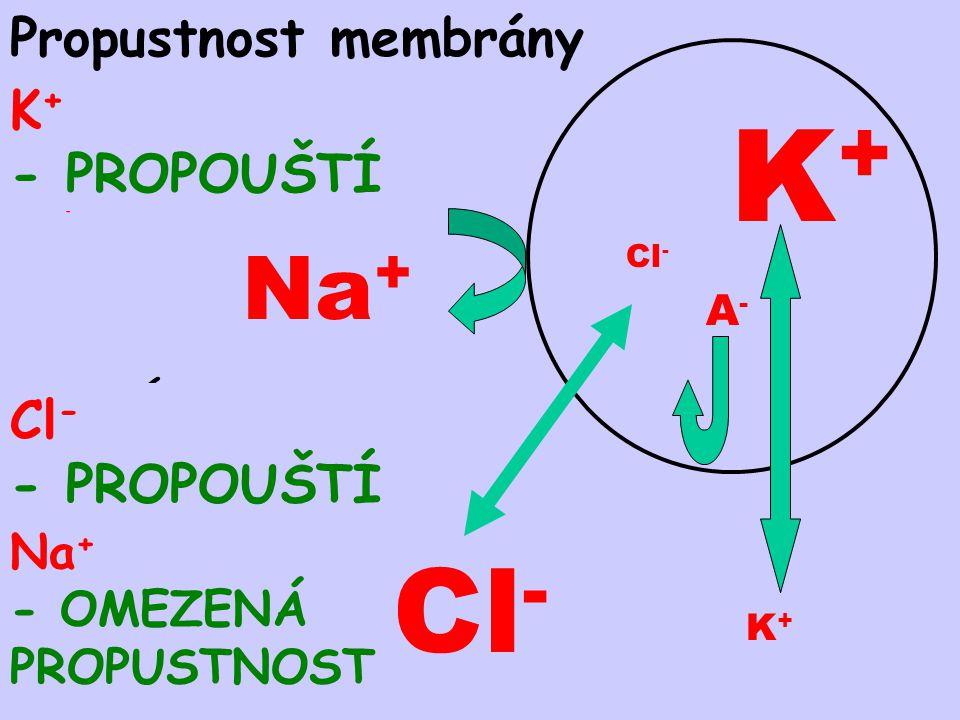 Rozložení iontů UVNITŘ – K + Anionty bílkovin, kys.fosforečné K+K+ A-A- OKOLÍ Na + Cl - Na + Cl - Propustnost membrány K + - PROPOUŠTÍ Cl - - PROPOUŠT