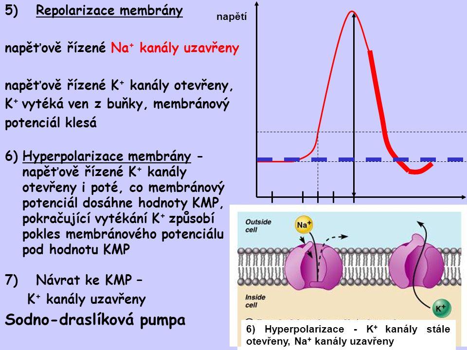 5)Repolarizace membrány napěťově řízené Na + kanály uzavřeny napěťově řízené K + kanály otevřeny, K + vytéká ven z buňky, membránový potenciál klesá č