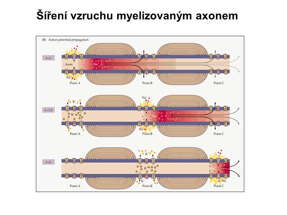 Šíření vzruchu myelizovaným axonem