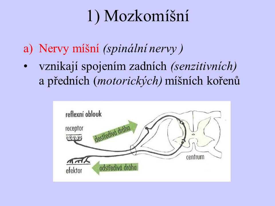 1) Mozkomíšní a)Nervy míšní (spinální nervy ) vznikají spojením zadních (senzitivních) a předních (motorických) míšních kořenů