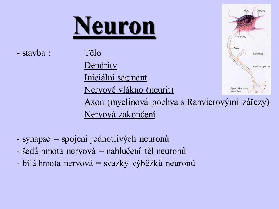 Neuron - stavba : Tělo Dendrity Iniciální segment Nervové vlákno (neurit) Axon (myelinová pochva s Ranvierovými zářezy) Nervová zakončení - synapse =