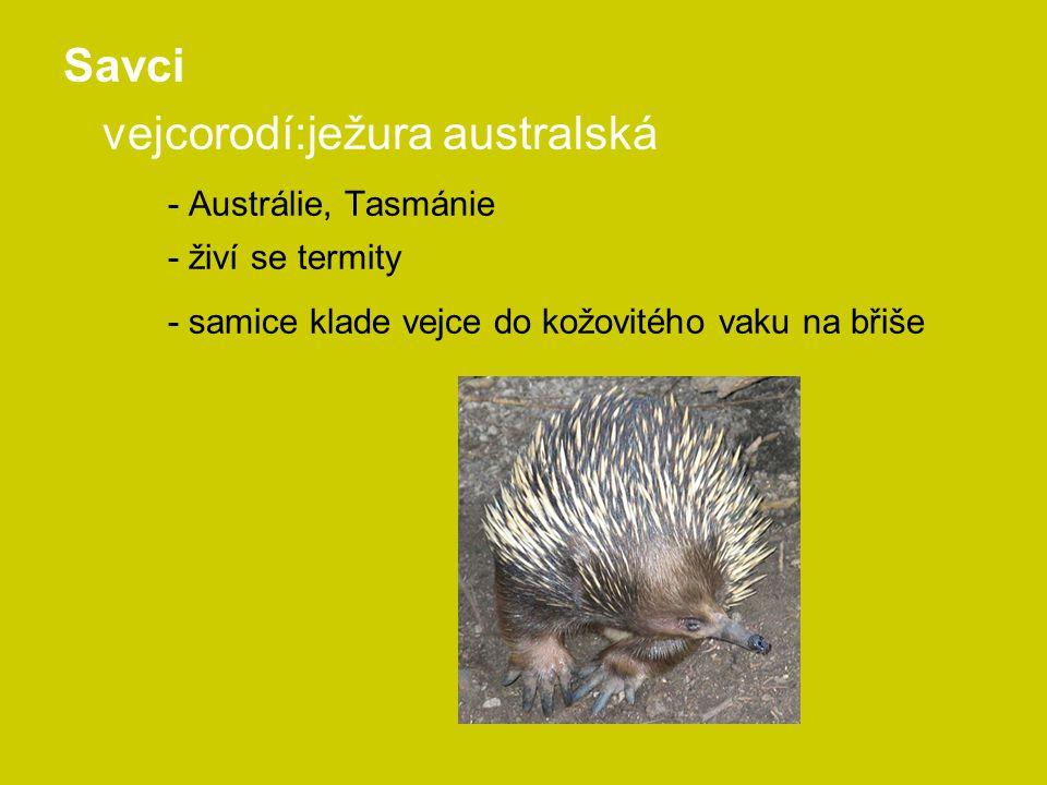 Savci vejcorodí:ježura australská - Austrálie, Tasmánie - živí se termity - samice klade vejce do kožovitého vaku na břiše