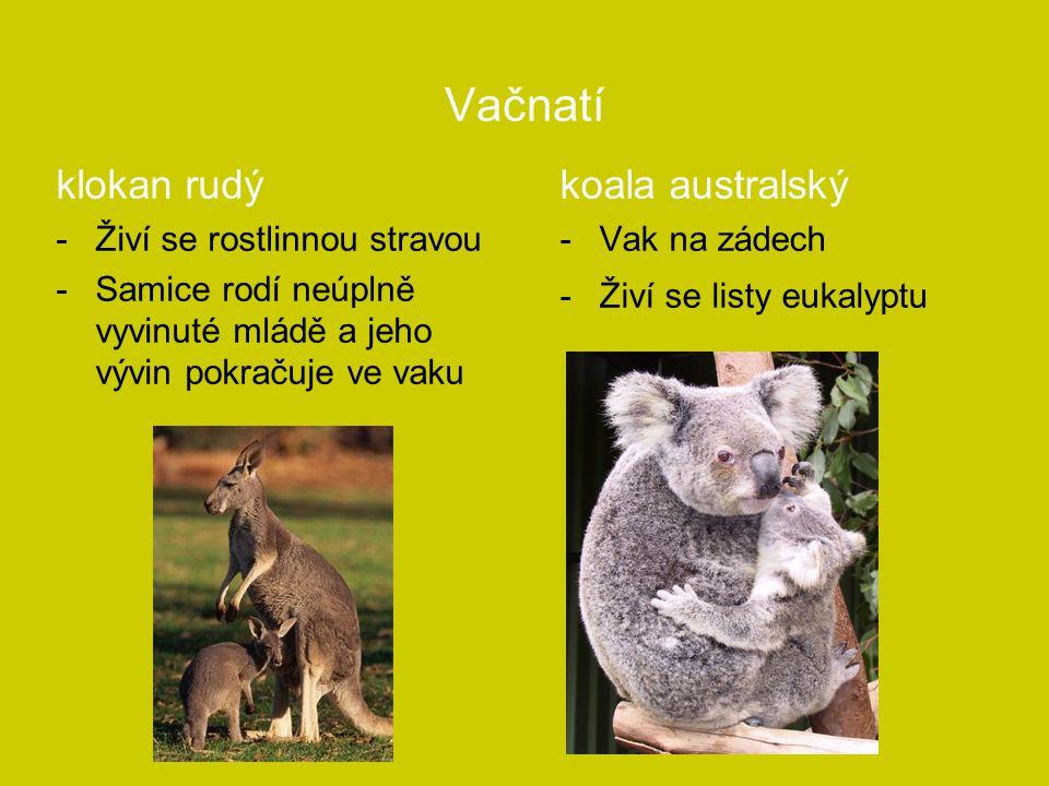 Vačnatí klokan rudý -Živí se rostlinnou stravou -Samice rodí neúplně vyvinuté mládě a jeho vývin pokračuje ve vaku koala australský -Vak na zádech -Ži