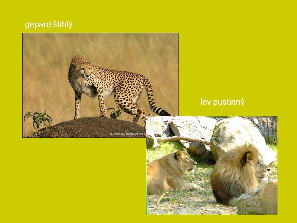 gepard štíhlý lev pustinný