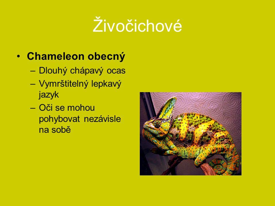 Živočichové Chameleon obecný –Dlouhý chápavý ocas –Vymrštitelný lepkavý jazyk –Oči se mohou pohybovat nezávisle na sobě