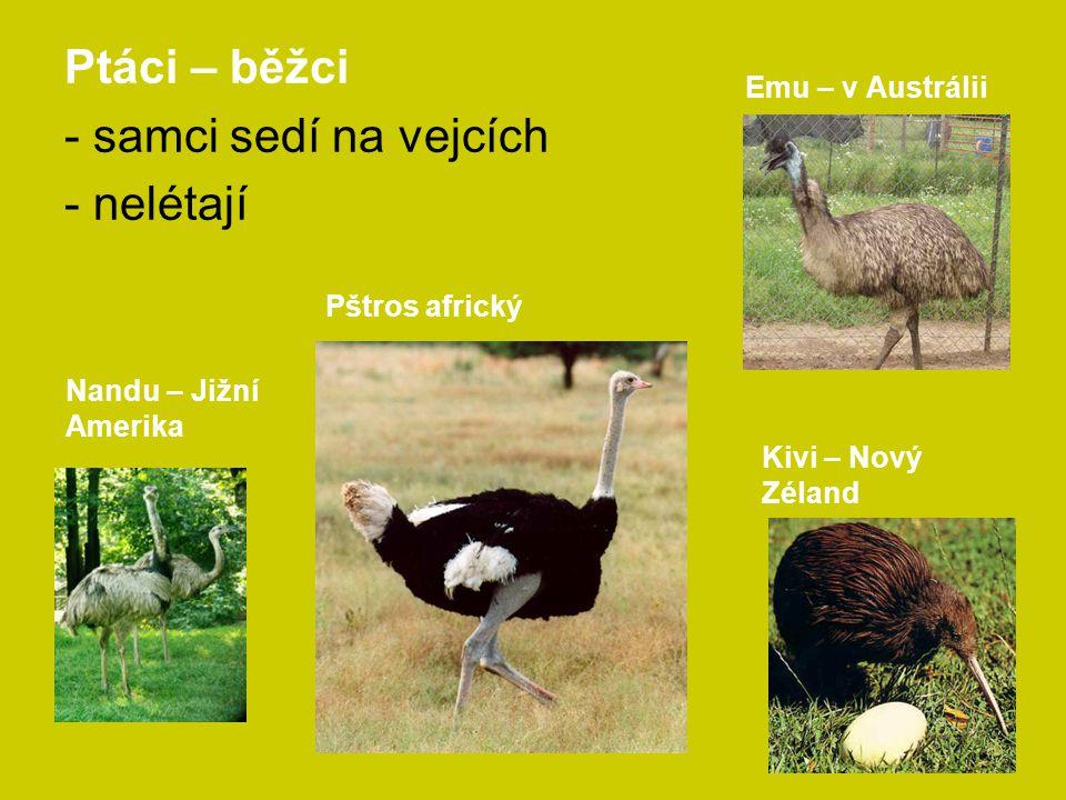 Ptáci – běžci - samci sedí na vejcích - nelétají Pštros africký Emu – v Austrálii Nandu – Jižní Amerika Kivi – Nový Zéland
