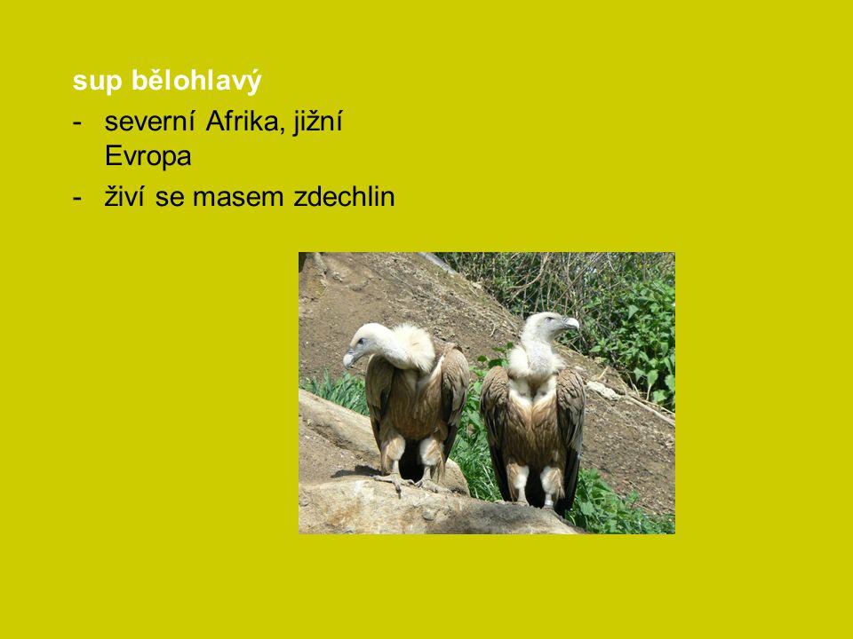 sup bělohlavý -severní Afrika, jižní Evropa -živí se masem zdechlin