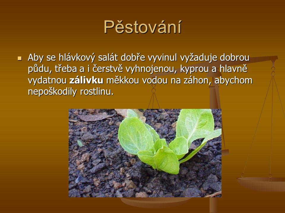 Pěstování Aby se hlávkový salát dobře vyvinul vyžaduje dobrou půdu, třeba a i čerstvě vyhnojenou, kyprou a hlavně vydatnou zálivku měkkou vodou na záh