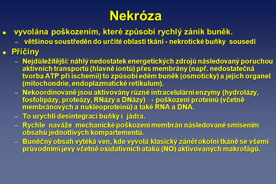 Apoptóza (smrt sebezničením, programovaná smrt buněk) l Charakterizována – smrštěním buněk spojeným se vznikem vakovitých výběžků povrchové membrány, – poruchou mitochondrií (uvolňuje se z nich cytochrom c), – degradací chromatinu a – rozpadem DNA.