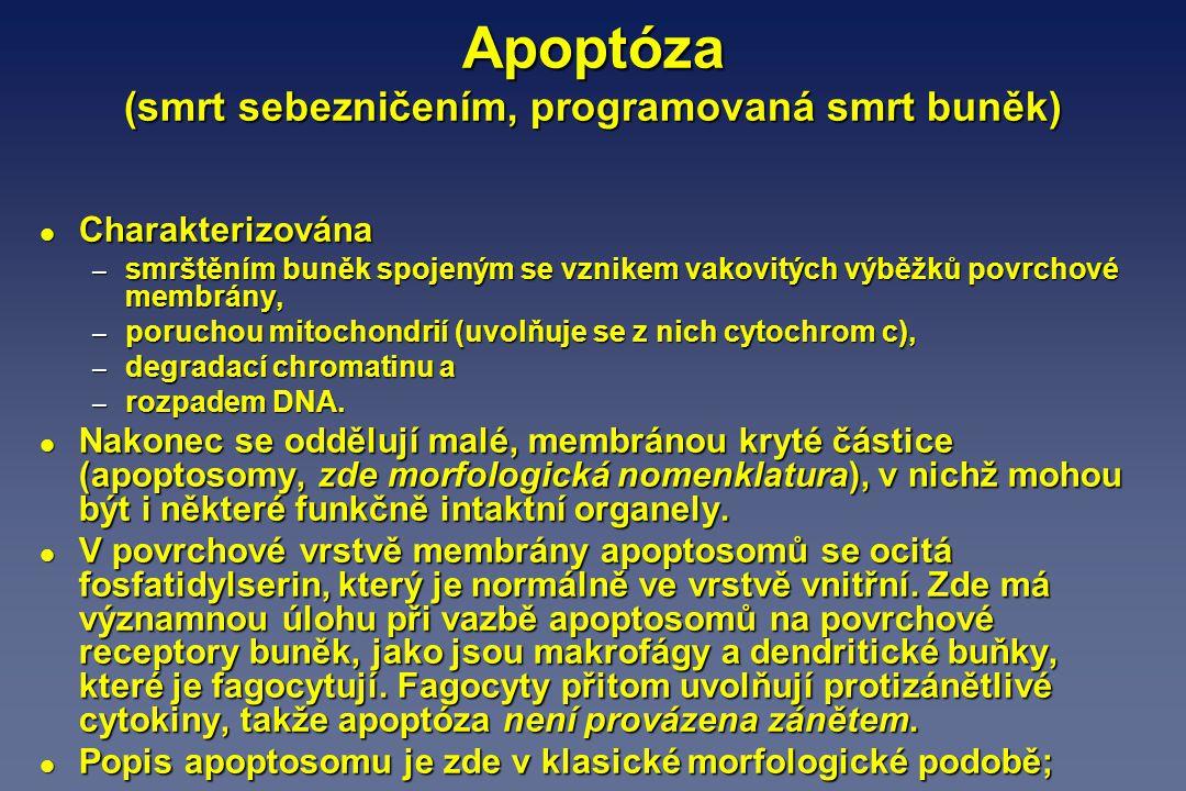 Apoptóza (smrt sebezničením, programovaná smrt buněk) l Charakterizována – smrštěním buněk spojeným se vznikem vakovitých výběžků povrchové membrány,