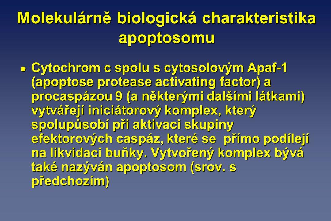 Molekulárně biologická charakteristika apoptosomu l Cytochrom c spolu s cytosolovým Apaf-1 (apoptose protease activating factor) a procaspázou 9 (a ně
