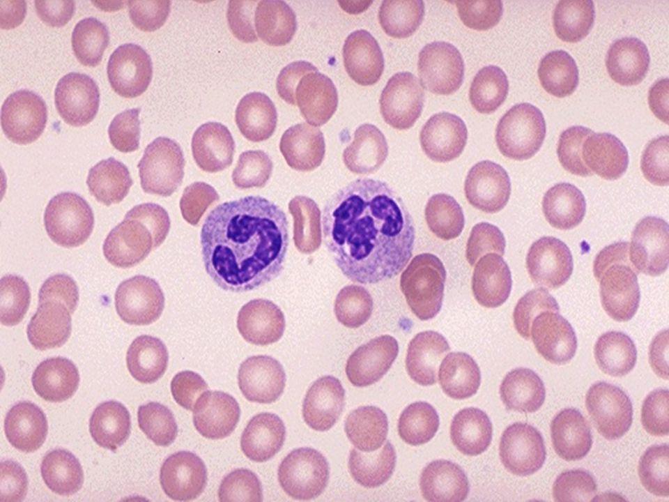 Monocytární vývojová řada  Monoblast  Promonocyt  Monocyt - velká buňka, bohatá na plazmu, jádro s řídkou vláknitou stavbou, chudé na chromatin, tvar podkovy, fazole nebo laločnaté uložené excentricky