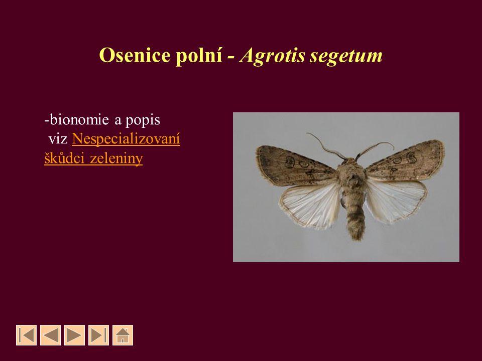 Osenice polní - Agrotis segetum -bionomie a popis viz NespecializovaníNespecializovaní škůdci zeleniny
