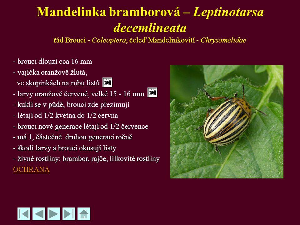Mandelinka bramborová – Leptinotarsa decemlineata řád Brouci - Coleoptera, čeleď Mandelinkovití - Chrysomelidae - brouci dlouzí cca 16 mm - vajíčka or