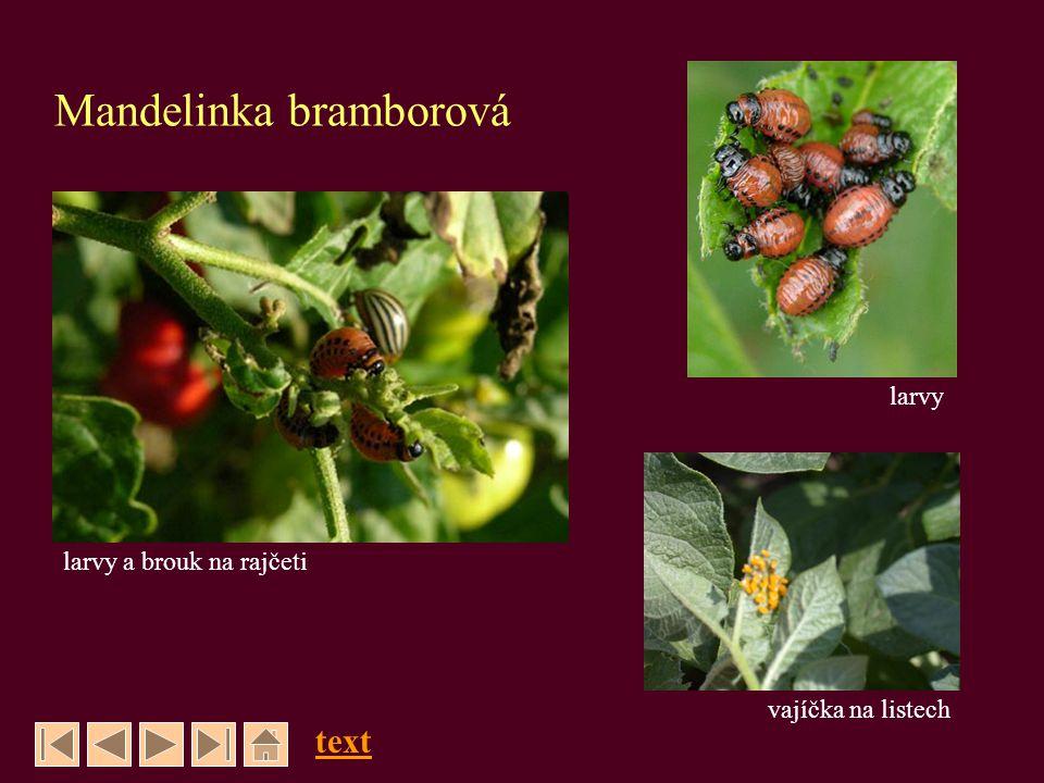 Mandelinka bramborová text vajíčka na listech larvy larvy a brouk na rajčeti