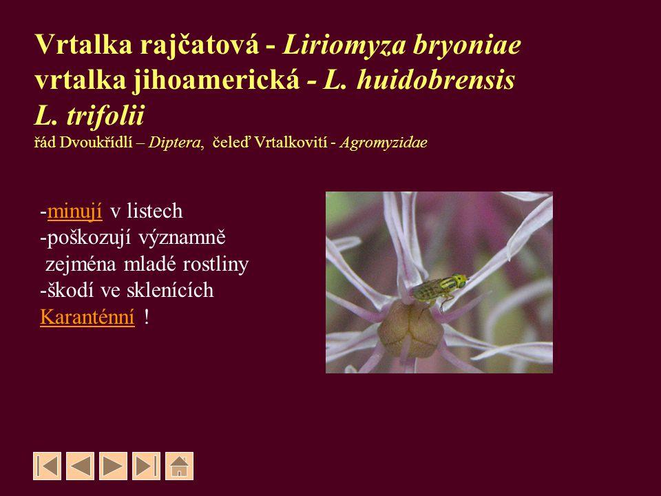 Vrtalka rajčatová - Liriomyza bryoniae vrtalka jihoamerická - L. huidobrensis L. trifolii řád Dvoukřídlí – Diptera, čeleď Vrtalkovití - Agromyzidae -m