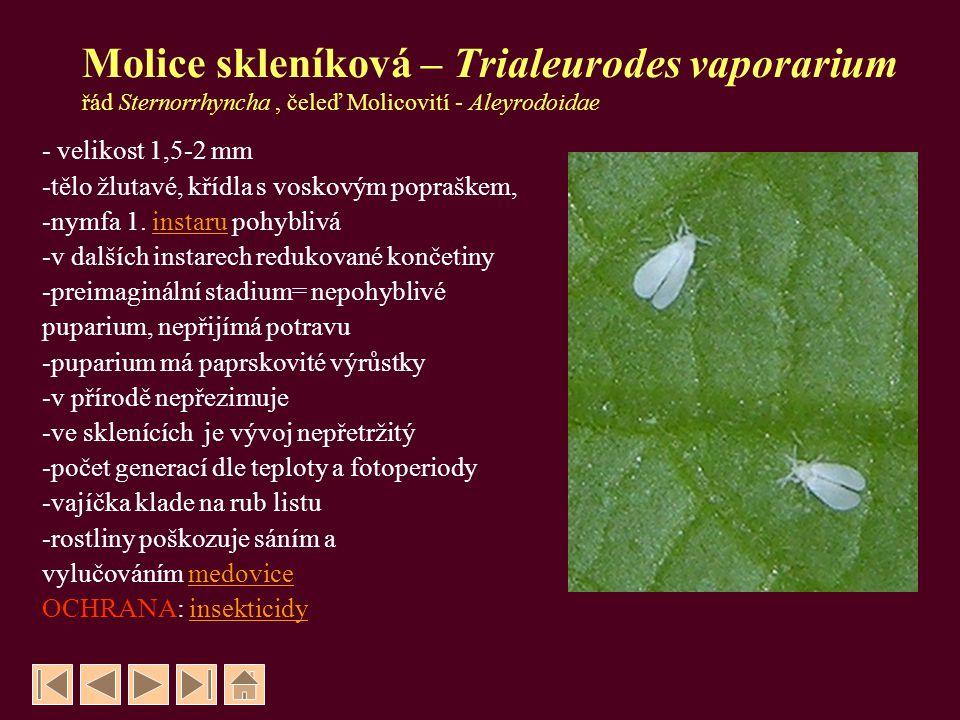 Molice skleníková – Trialeurodes vaporarium řád Sternorrhyncha, čeleď Molicovití - Aleyrodoidae - velikost 1,5-2 mm -tělo žlutavé, křídla s voskovým p