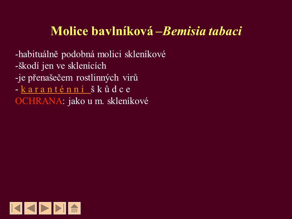 Molice bavlníková –Bemisia tabaci -habituálně podobná molici skleníkové -škodí jen ve sklenících -je přenašečem rostlinných virů - k a r a n t é n n í