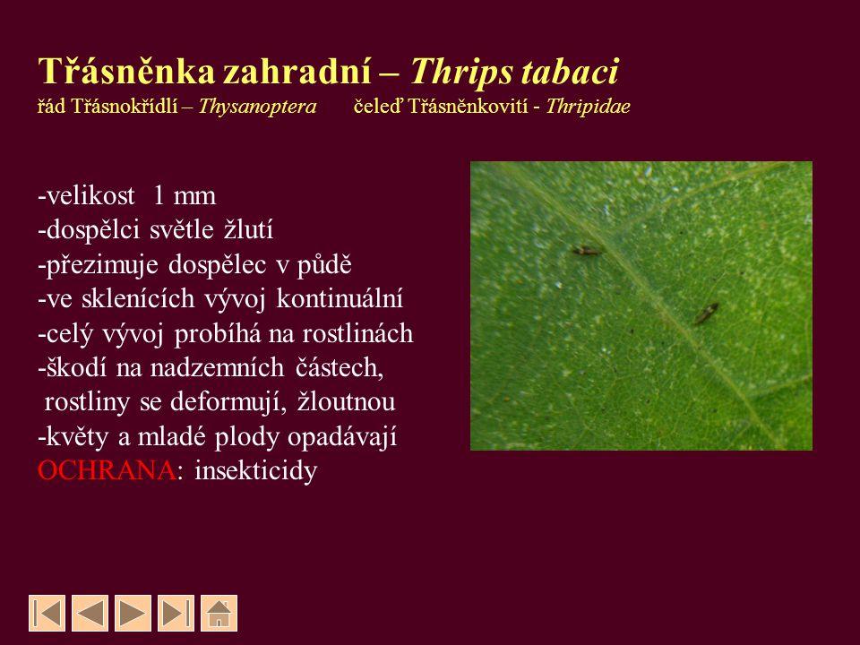 Třásněnka západní – Frankliniella occidentalis -velikost 1 mm -poslední nymfální instary prodělávají část vývoje v půdě -škodí pouze ve sklenících -přenáší virové choroby