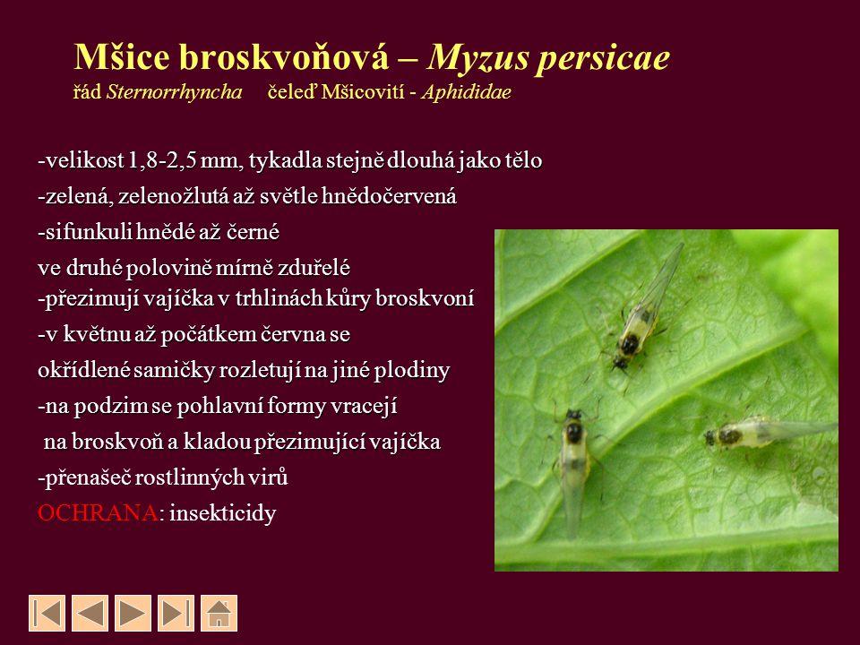 Mšice broskvoňová – Myzus persicae řád Sternorrhyncha čeleď Mšicovití - Aphididae velikost 1,8-2,5 mm, tykadla stejně dlouhá jako tělo -velikost 1,8-2