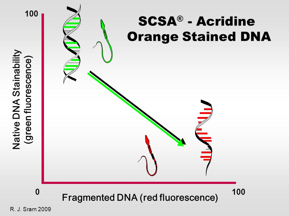0100 Fragmented DNA (red fluorescence) Native DNA Stainability (green fluorescence) SCSA ® - Acridine Orange Stained DNA R.