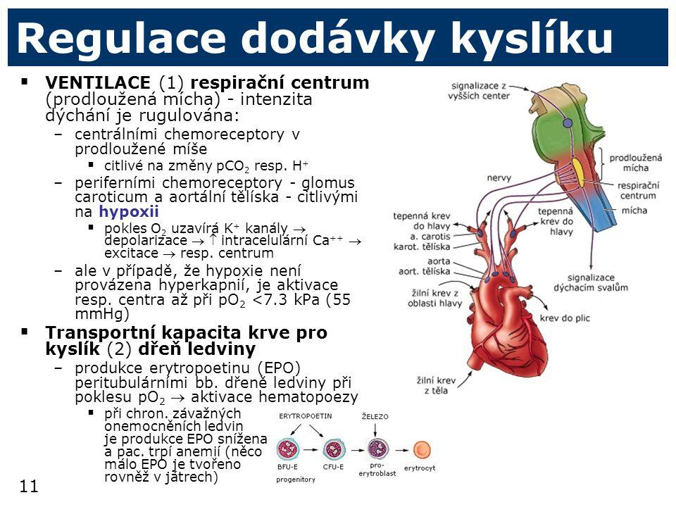 11 Regulace dodávky kyslíku  VENTILACE (1) respirační centrum (prodloužená mícha) - intenzita dýchání je rugulována: –centrálními chemoreceptory v prodloužené míše  citlivé na změny pCO 2 resp.