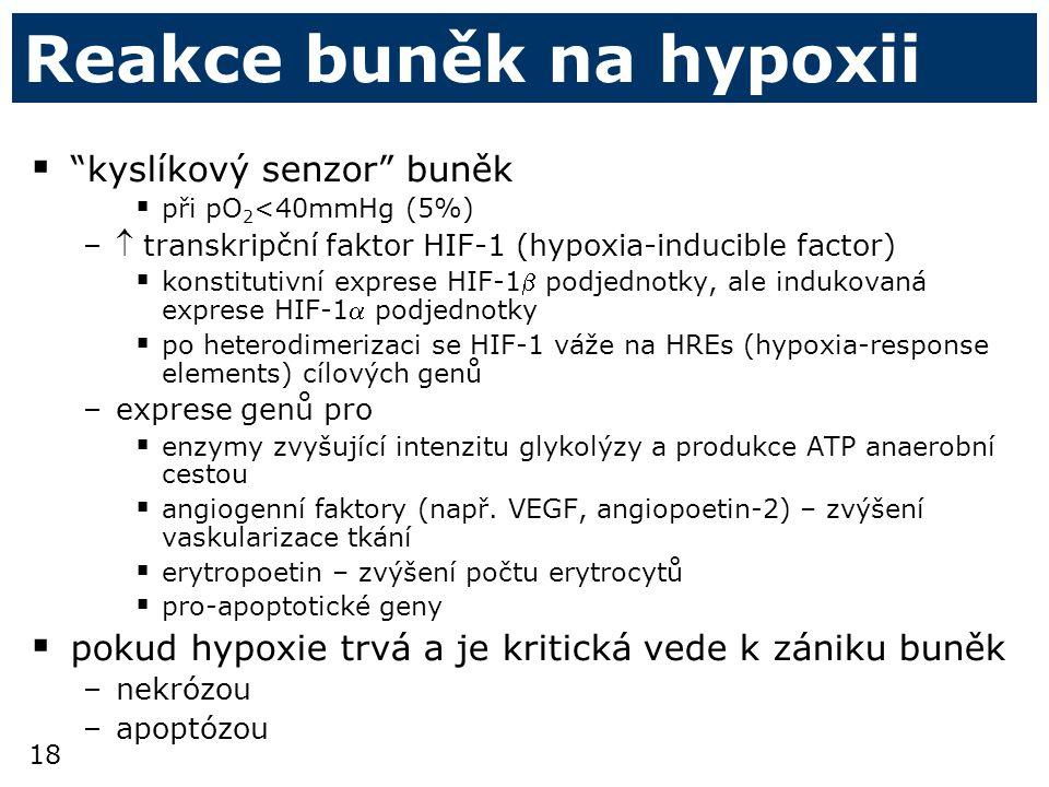 18 Reakce buněk na hypoxii  kyslíkový senzor buněk  při pO 2 <40mmHg (5%) – transkripční faktor HIF-1 (hypoxia-inducible factor)  konstitutivní exprese HIF-1 podjednotky, ale indukovaná exprese HIF-1 podjednotky  po heterodimerizaci se HIF-1 váže na HREs (hypoxia-response elements) cílových genů –exprese genů pro  enzymy zvyšující intenzitu glykolýzy a produkce ATP anaerobní cestou  angiogenní faktory (např.