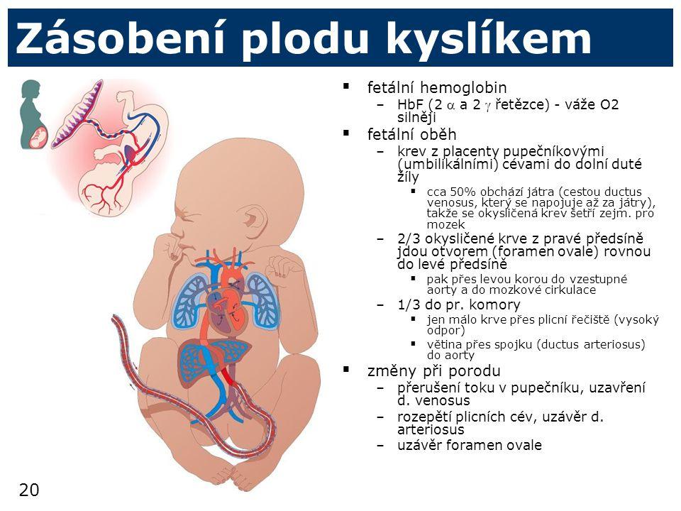 20 Zásobení plodu kyslíkem  fetální hemoglobin –HbF (2  a 2  řetězce) - váže O2 silněji  fetální oběh –krev z placenty pupečníkovými (umbilikálními) cévami do dolní duté žíly  cca 50% obchází játra (cestou ductus venosus, který se napojuje až za játry), takže se okysličená krev šetří zejm.
