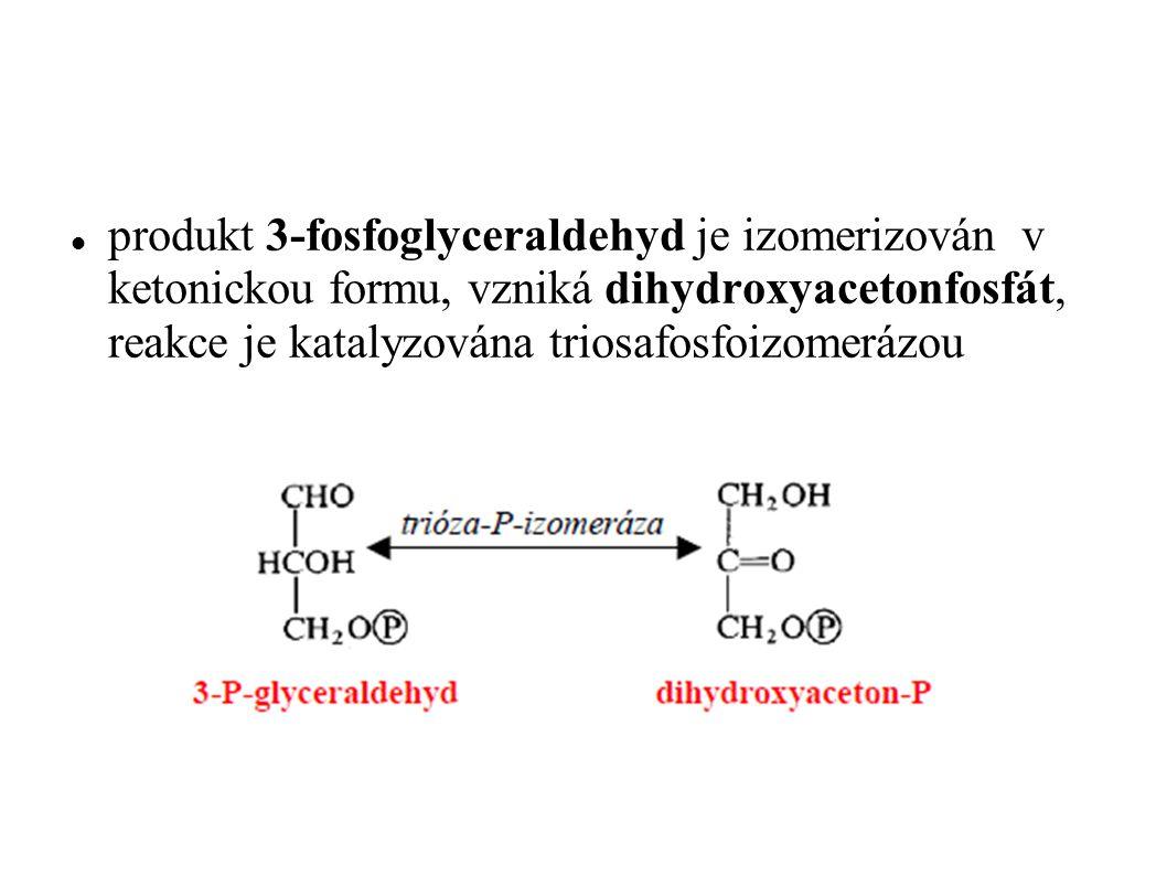 Vzniklé fosforylované triózy, především však dihydroxyaceton-P, jsou transportovány z chloroplastu do cytoplazmy.