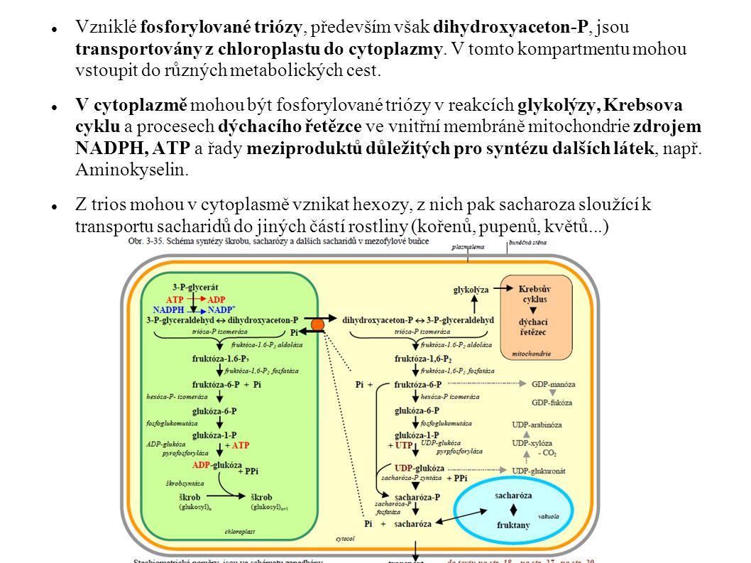 Vzniklé fosforylované triózy, především však dihydroxyaceton-P, jsou transportovány z chloroplastu do cytoplazmy. V tomto kompartmentu mohou vstoupit