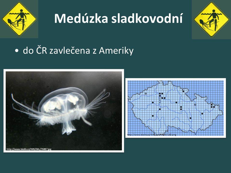 Medúzka sladkovodní do ČR zavlečena z Ameriky http://www.biolib.cz/IMG/GAL/76487.jpg http://www.biolib.cz/IMG/MAP/TXM/180.png