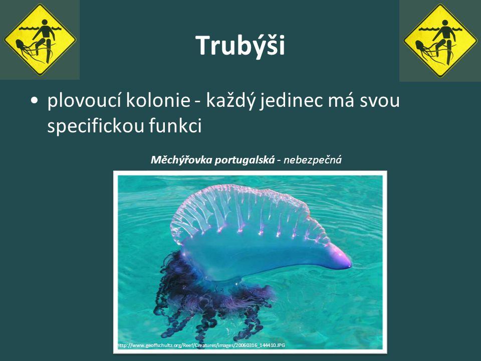 Trubýši plovoucí kolonie - každý jedinec má svou specifickou funkci http://www.geoffschultz.org/Reef/Creatures/images/20060316_144410.JPG Měchýřovka p