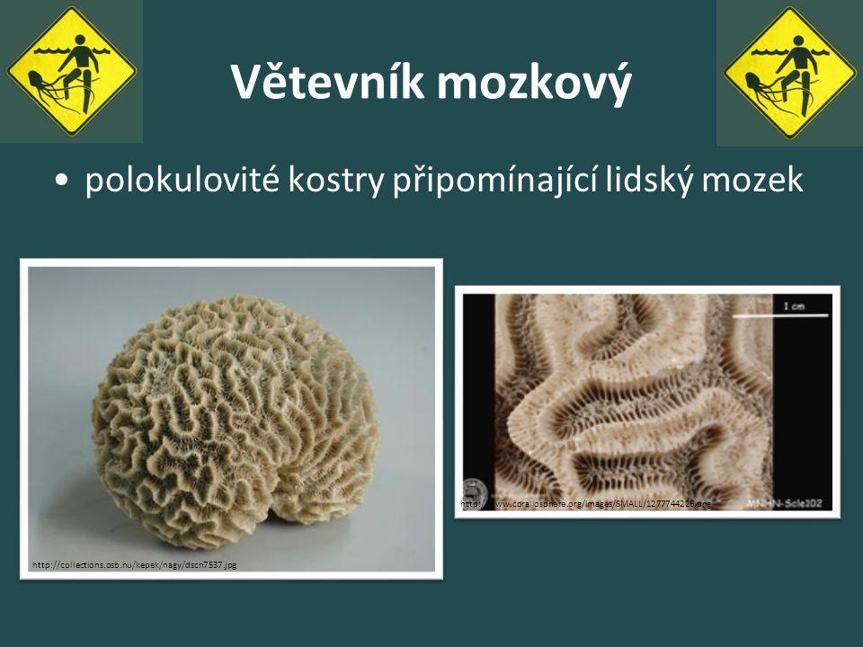 Větevník mozkový polokulovité kostry připomínající lidský mozek http://www.corallosphere.org/images/SMALL/1277744226.png http://collections.osb.hu/kep