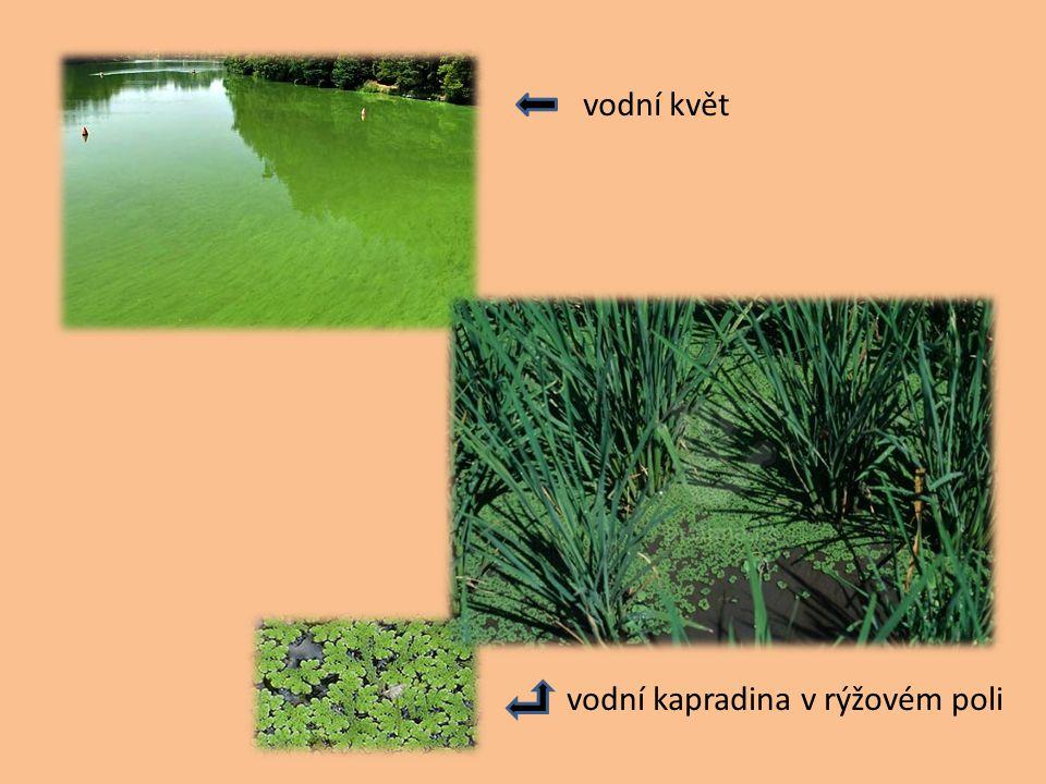 Význam sinic vodní květ – přemnožené sinice v podobě modrozelených povlaků na hladině stojatých vod – způsobují zápach vody, vylučují toxiny, nedostat